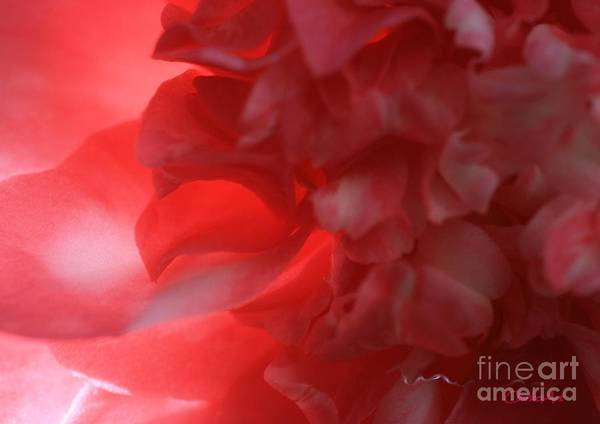 Photograph - Backlit Camellia by Jean Clarke