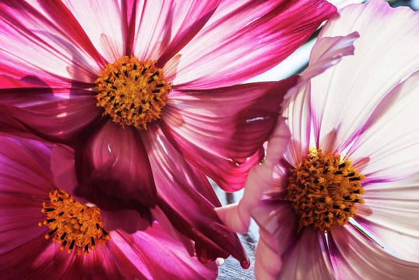 Wall Art - Photograph - Backlit Cosmos Flowers by Vishwanath Bhat