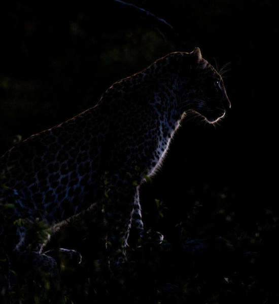 Photograph - Backlit Leopard by Mark Hunter