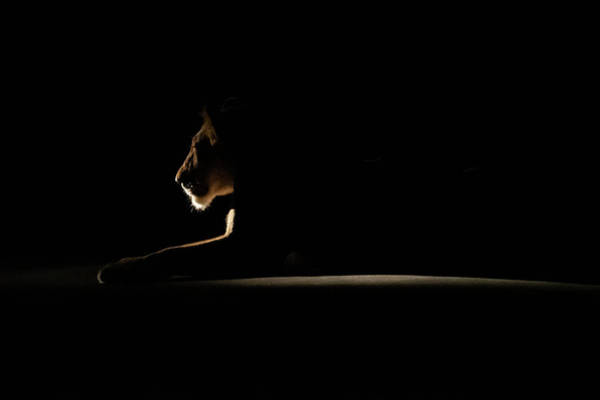 Photograph - Backlit Lion 2 by Mark Hunter