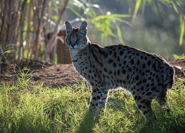Photograph - Backlit Serval by Gloria Anderson