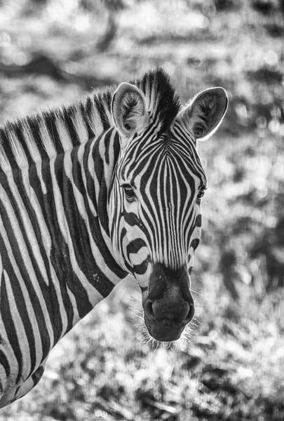 Photograph - Backlit Zebra Portrait by Mark Hunter