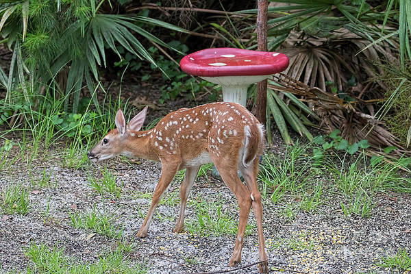 Photograph - Backyard Fawn by Deborah Benoit
