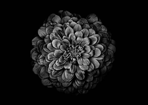Photograph - Backyard Flowers In Black And White 54 by Brian Carson