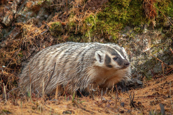 Photograph - Badger 2946 By Tl Wilson Photography by Teresa Wilson