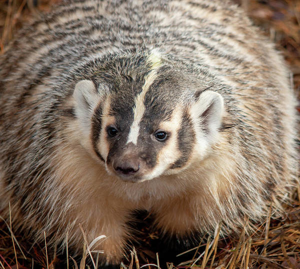 Photograph - Badger 3344 By Tl Wilson Photography  by Teresa Wilson