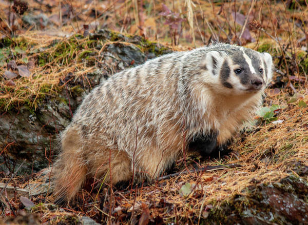 Photograph - Badger 3453 By Tl Wilson Photography  by Teresa Wilson