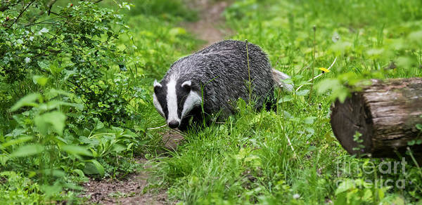 Photograph - Badger by Arterra Picture Library