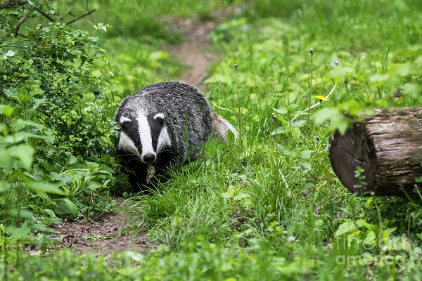 Photograph - Badger On Wildlife Trail by Arterra Picture Library