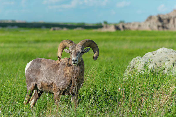 Photograph - Badlands Bighorn Sheep by Sebastian Musial