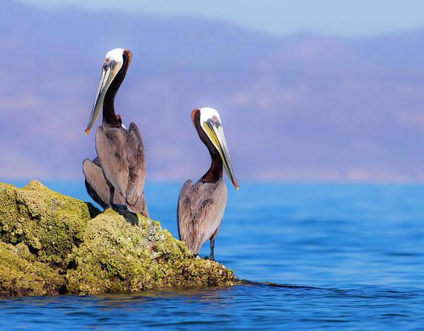 California Brown Pelican Photograph - Baja Peninsula, Sea Of Cortez, Gulf by Janet Muir