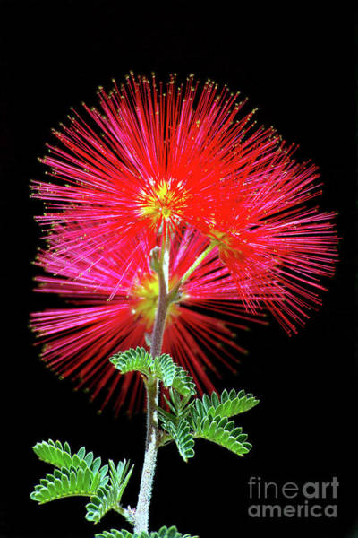 Wall Art - Photograph - Baja Red Fairy Duster by Douglas Taylor