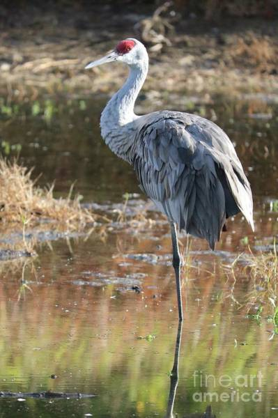 Photograph - Balanced Sandhill by Carol Groenen