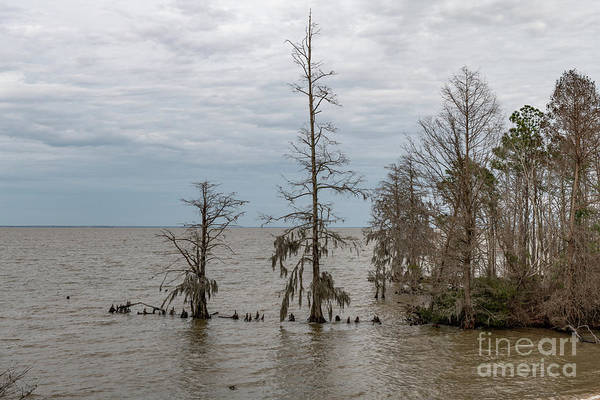 Photograph - Bald Cypress - Lake Moultrie South Carolina by Dale Powell