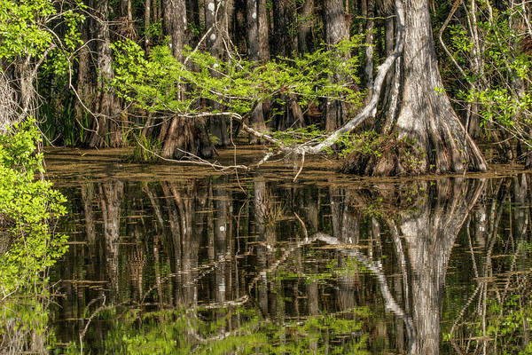 Bald Cypress Wall Art - Photograph - Bald Cypress Trees And Reflection, Six by Adam Jones