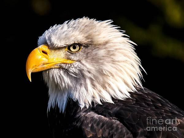 Digital Art - Bald Eagle 1 by Michael Graham