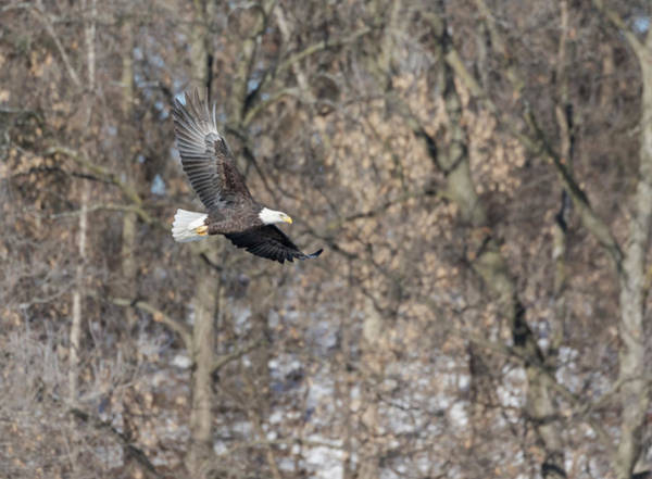 Wall Art - Photograph - Bald Eagle 2018-10 by Thomas Young