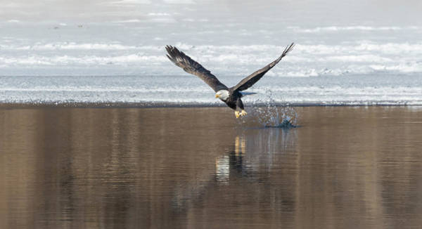 Wall Art - Photograph - Bald Eagle 2018-12 by Thomas Young
