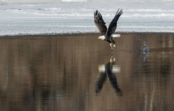 Wall Art - Photograph - Bald Eagle 2018-17 by Thomas Young
