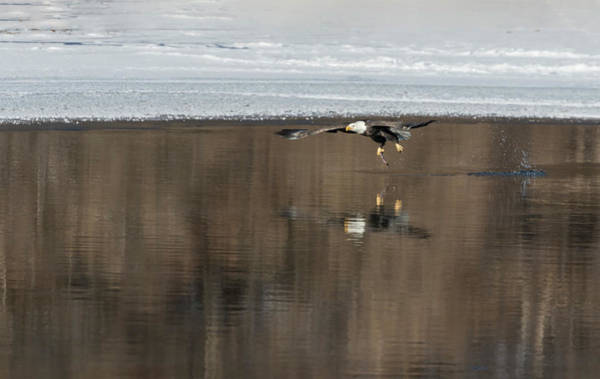 Wall Art - Photograph - Bald Eagle 2018-18 by Thomas Young