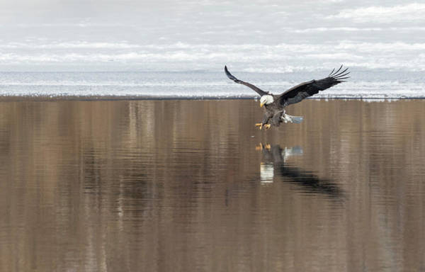 Wall Art - Photograph - Bald Eagle 2018-5 by Thomas Young