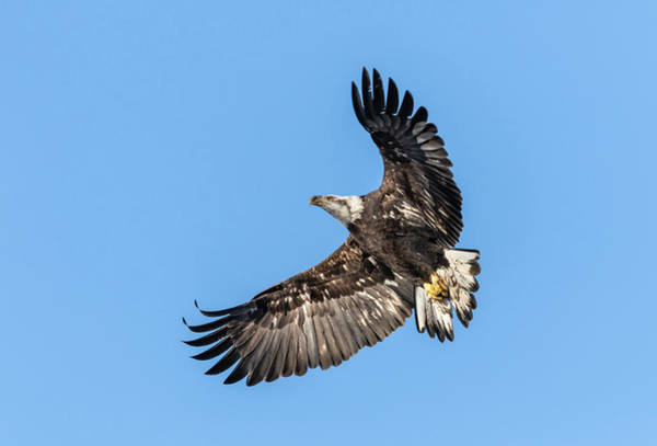 Photograph - Bald Eagle 2019-1 by Thomas Young