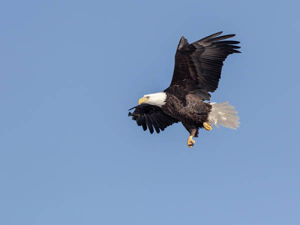 Photograph - Bald Eagle 2019-11 by Thomas Young