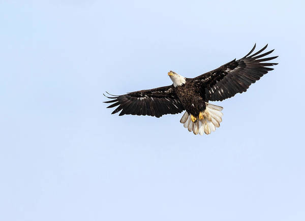 Photograph - Bald Eagle 2019-6 by Thomas Young