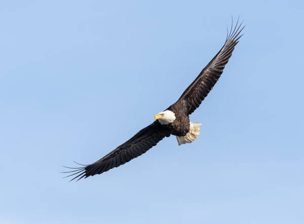 Photograph - Bald Eagle 2019-9 by Thomas Young