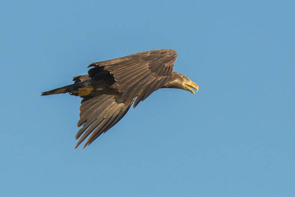 Photograph - Bald Eagle 3800-053019 by Tam Ryan