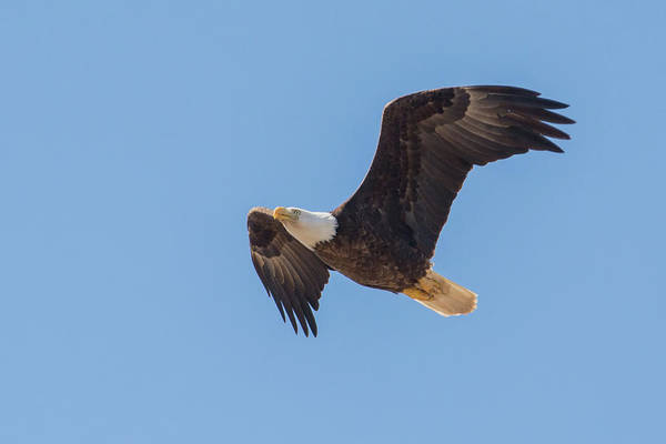 Photograph - Bald Eagle 5488-022619 by Tam Ryan