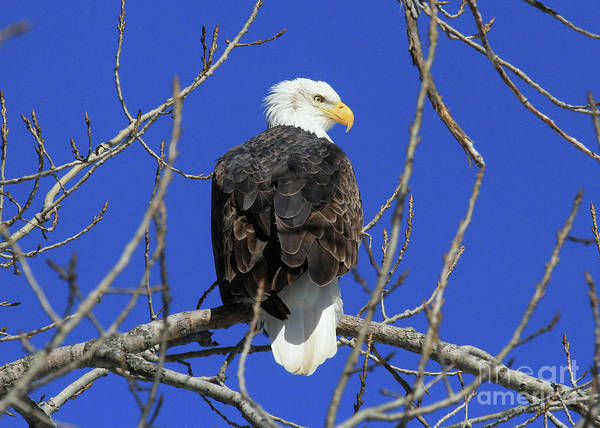 Photograph - Bald Eagle And Blue Sky by Paula Guttilla