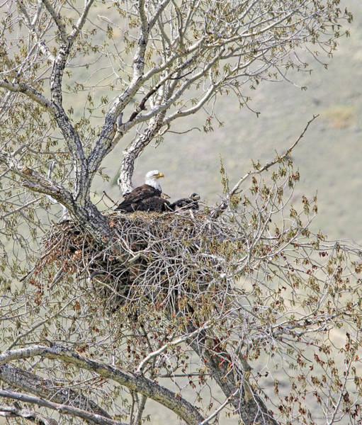 Wall Art - Photograph - Bald Eagle And Eaglets In Nest by Jennie Marie Schell