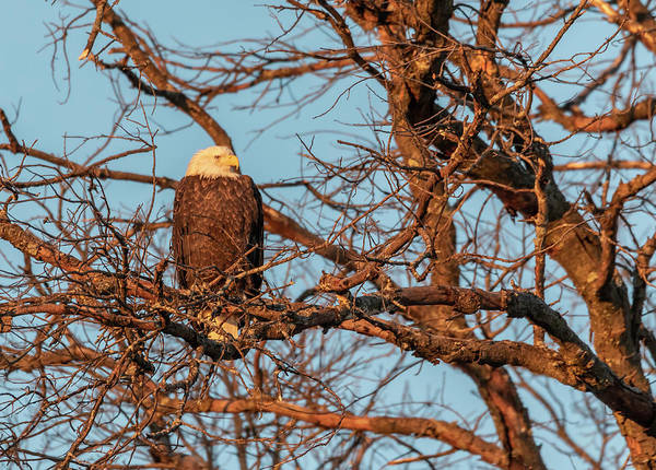Photograph - Bald Eagle At Sunrise 2019 by Thomas Young