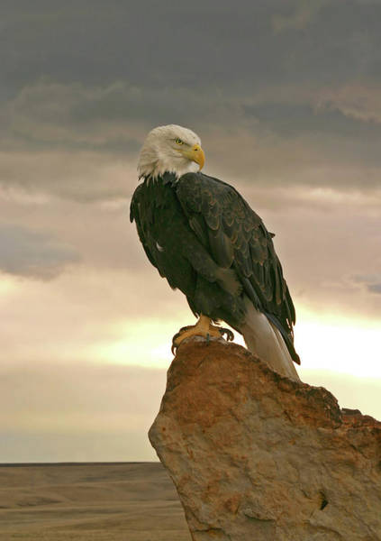 Eagle Photograph - Bald Eagle At Sunrise by Missing35mm
