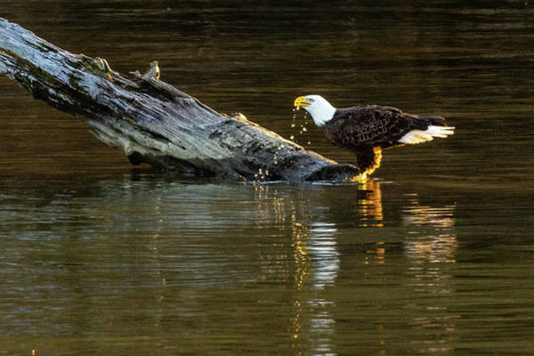 Photograph - Bald Eagle At The Watering Hole 2 by Jack Peterson