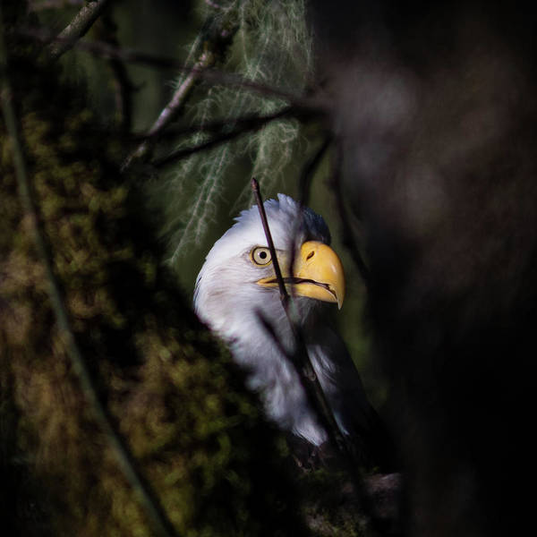 Photograph - Bald Eagle Behind Tree by Hagen Pflueger