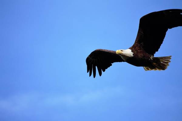 Wall Art - Photograph - Bald Eagle Female Blue Sky by Nancy Spirakus