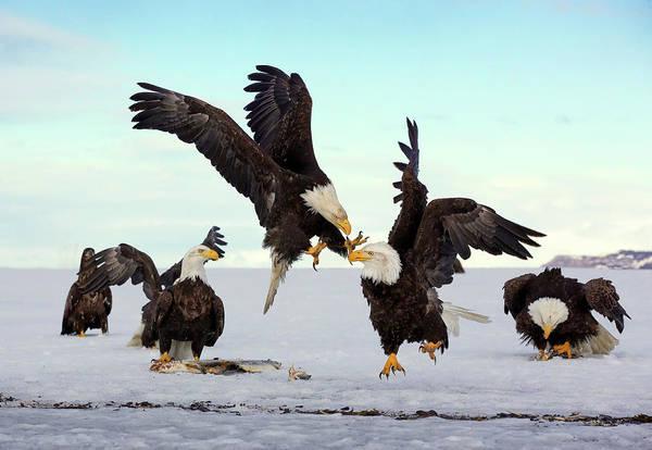 Photograph - Bald Eagle Fight by Scott Bourne