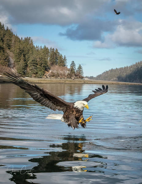 Photograph - Bald Eagle Fishing In Sadie Cove by James Capo