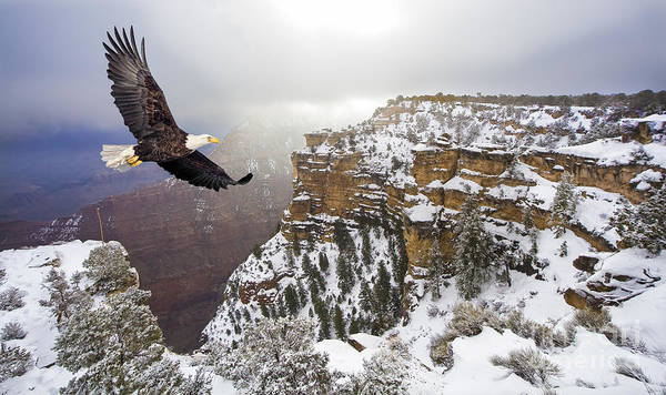 Colorado Wildlife Wall Art - Photograph - Bald Eagle Flying Above Grand Canyon by Steve Collender