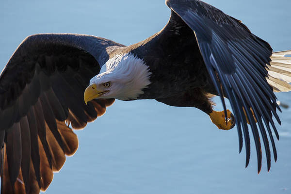 Eagle Photograph - Bald Eagle Haliaeetus Leucocephalus In by Robert Postma / Design Pics