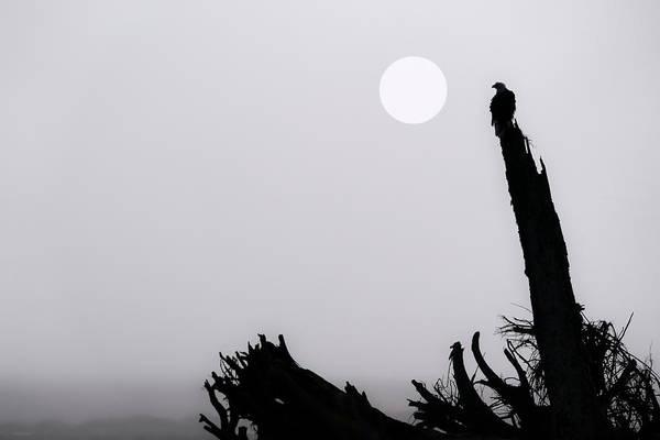 Wall Art - Photograph - Bald Eagle  Haliaeetus Leucocephalus by John Hyde