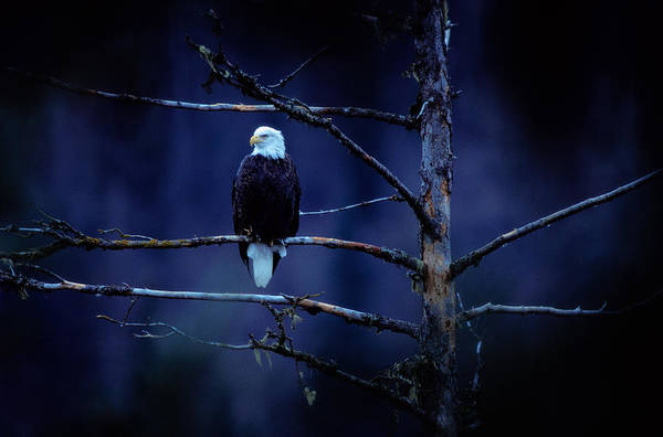 Eagle Photograph - Bald Eagle Haliaeetus Leucocephalus On by Art Wolfe