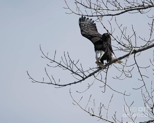 Photograph - Bald Eagle Having Lunch by Jon Burch Photography
