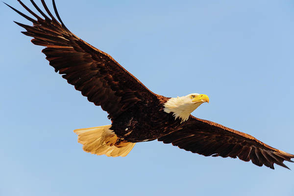 Digital Art - Bald Eagle In Edmonds Marina Beach Park by Michael Lee
