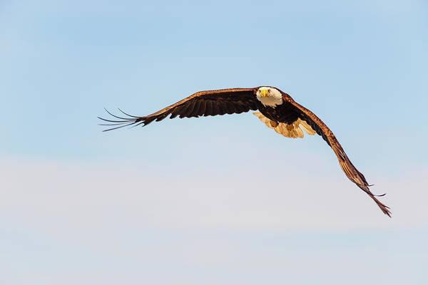 Digital Art - Bald Eagle In Edmonds Marina Park by Michael Lee