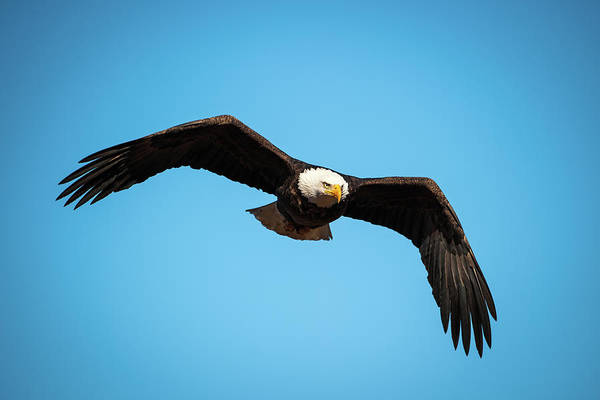 Photograph - Bald Eagle In Flight  by Jeff Phillippi
