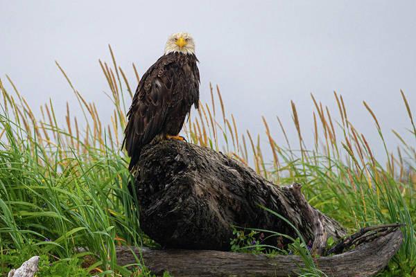 Photograph - Bald Eagle In Katmai Np by Mark Hunter
