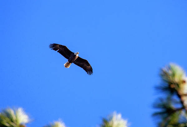 Photograph - Bald Eagle In Lake Cuyamaca by Anthony Jones